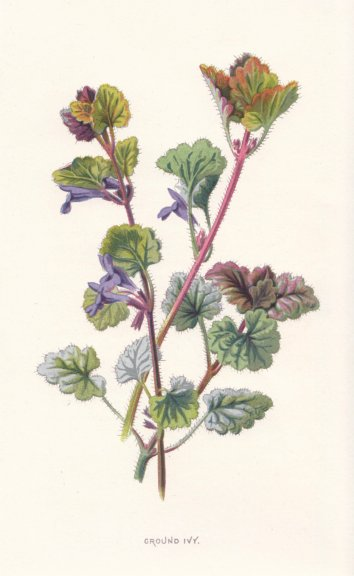 Associate Product FLOWERS. Ground Ivy c1895 old antique vintage print picture