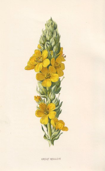 Associate Product FLOWERS. Great Mullein c1895 old antique vintage print picture