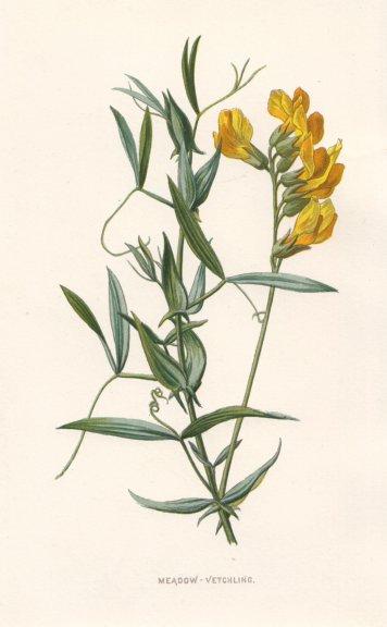 Associate Product FLOWERS. Meadow Vetchling c1895 old antique vintage print picture