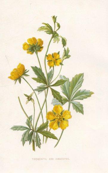 Associate Product FLOWERS. Tormentil & Cinquefoil c1895 old antique vintage print picture