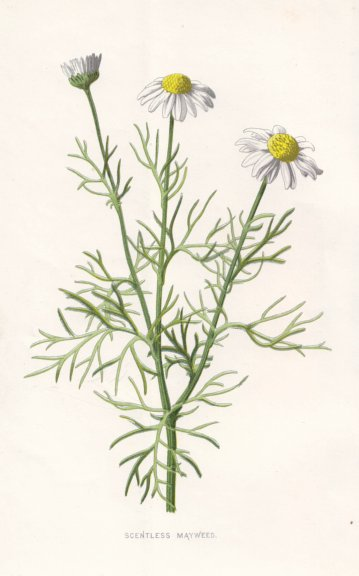Associate Product FLOWERS. Scentless Mayweed c1895 old antique vintage print picture