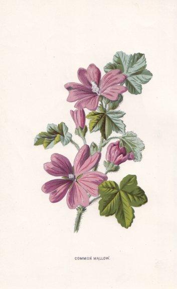 Associate Product FLOWERS. Common Mallow c1895 old antique vintage print picture