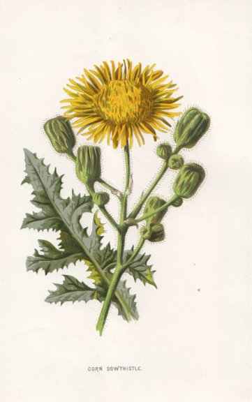 Associate Product FLOWERS. Corn Sow-Thistle c1895 old antique vintage print picture