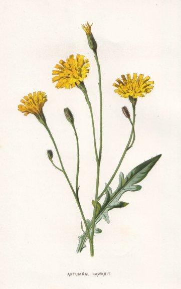 Associate Product FLOWERS. Autumnal Hawk-Bit c1895 old antique vintage print picture
