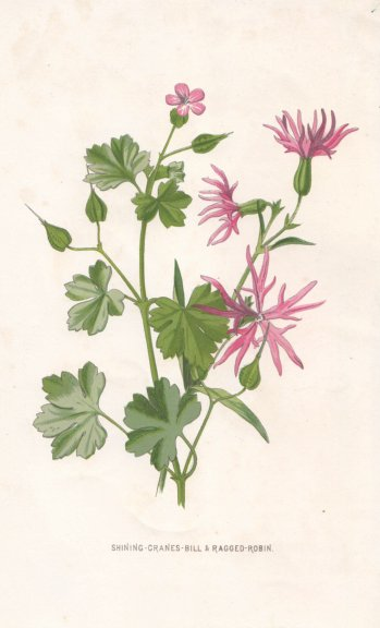 Associate Product FLOWERS. Shining Crane's-bill & Ragged Robin c1895 old antique print picture