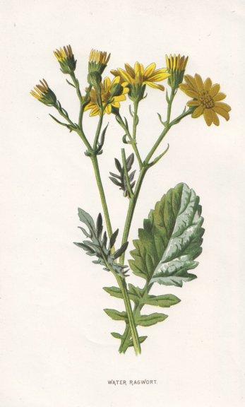Associate Product FLOWERS. Water-Ragwort c1895 old antique vintage print picture