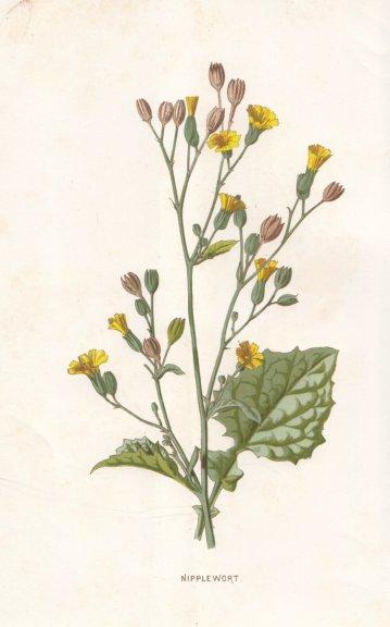 Associate Product FLOWERS. Nipplewort c1895 old antique vintage print picture