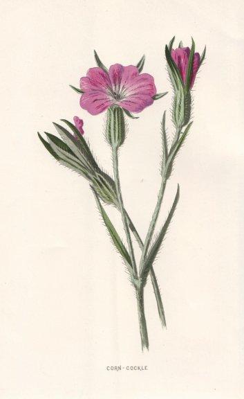 Associate Product FLOWERS. Corn-Cockle c1895 old antique vintage print picture