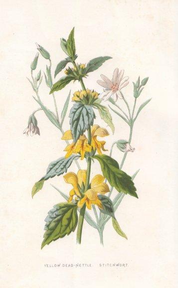 Associate Product FLOWERS. Yellow Dead-Nettle & Stitchwort c1895 old antique print picture
