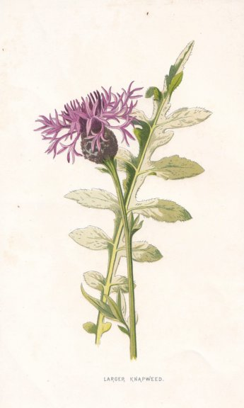 Associate Product FLOWERS. Larger Knapweed c1895 old antique vintage print picture