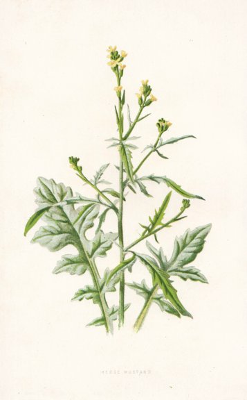 Associate Product FLOWERS. Hedge Mustard c1895 old antique vintage print picture