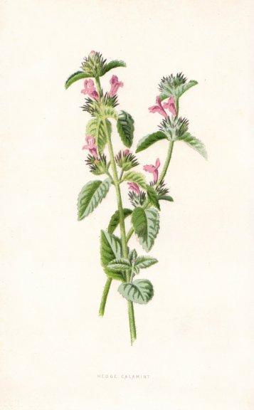 FLOWERS. Hedge Calamint c1895 old antique vintage print picture