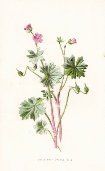 Associate Product FLOWERS. Dove's Foot Crane's-Bill c1895 old antique vintage print picture