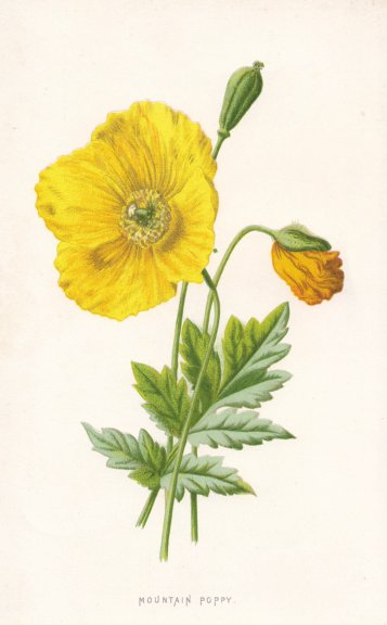 Associate Product FLOWERS. Mountain Poppy c1895 old antique vintage print picture