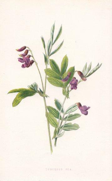 Associate Product FLOWERS. Tuberous Pea c1895 old antique vintage print picture