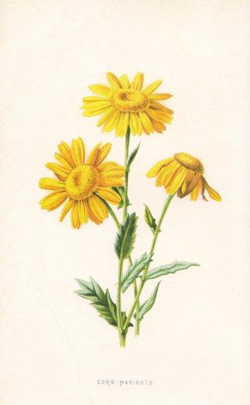 FLOWERS. Corn Marigold c1895 antique vintage print picture