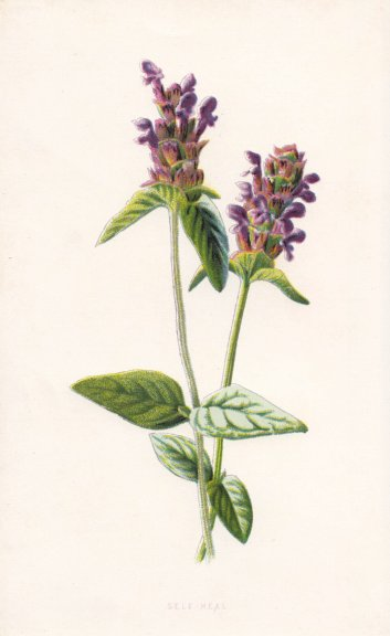 Associate Product FLOWERS. Self-Heal c1895 old antique vintage print picture