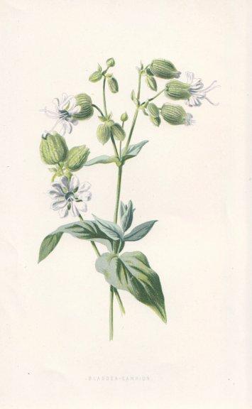 Associate Product FLOWERS. Bladder Campion c1895 old antique vintage print picture