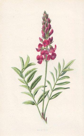 Associate Product FLOWERS. Sainfoin c1895 old antique vintage print picture