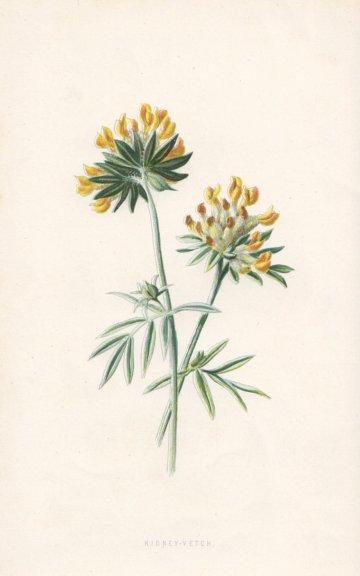 Associate Product FLOWERS. Kidney Vetch c1895 old antique vintage print picture