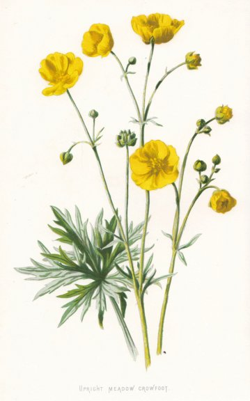 Associate Product FLOWERS. Upright Meadow Crowfoot c1895 old antique vintage print picture