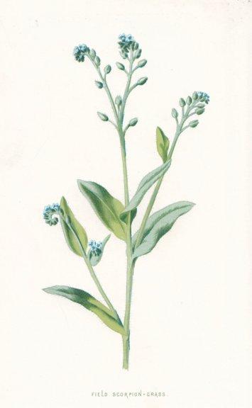 Associate Product FLOWERS. Field Scorpion-Grass c1895 old antique vintage print picture