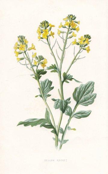 Associate Product FLOWERS. Yellow Rocket c1895 old antique vintage print picture