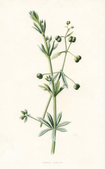Associate Product FLOWERS. Goose-Grass c1895 old antique vintage print picture