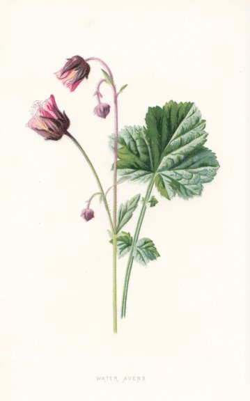 Associate Product FLOWERS. Water Avens c1895 old antique vintage print picture