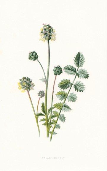 Associate Product FLOWERS. Salad Burnet c1895 old antique vintage print picture