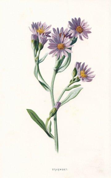 Associate Product FLOWERS. Starwort c1895 old antique vintage print picture