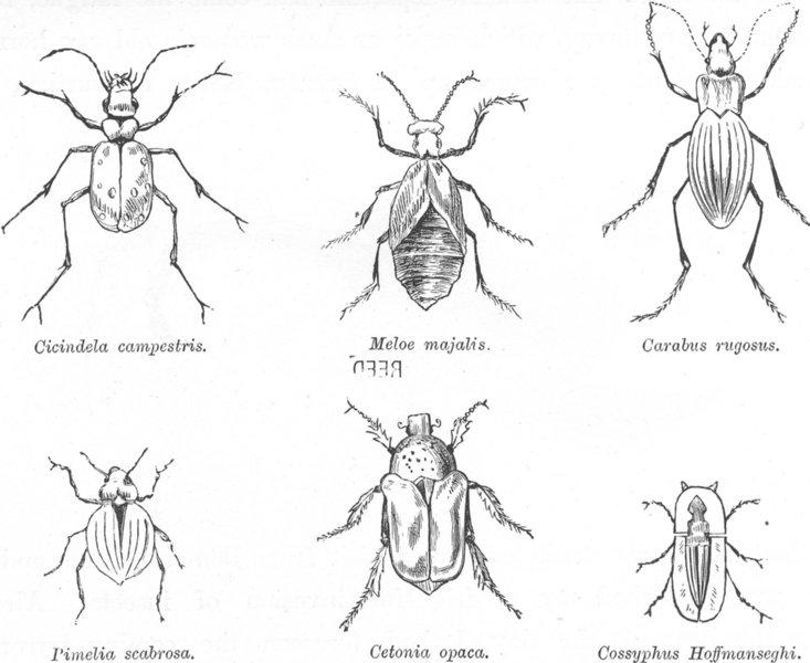 Associate Product INSECT. Cicindela Campestris-Meloe Majalis-Caliabus 1882 old antique print