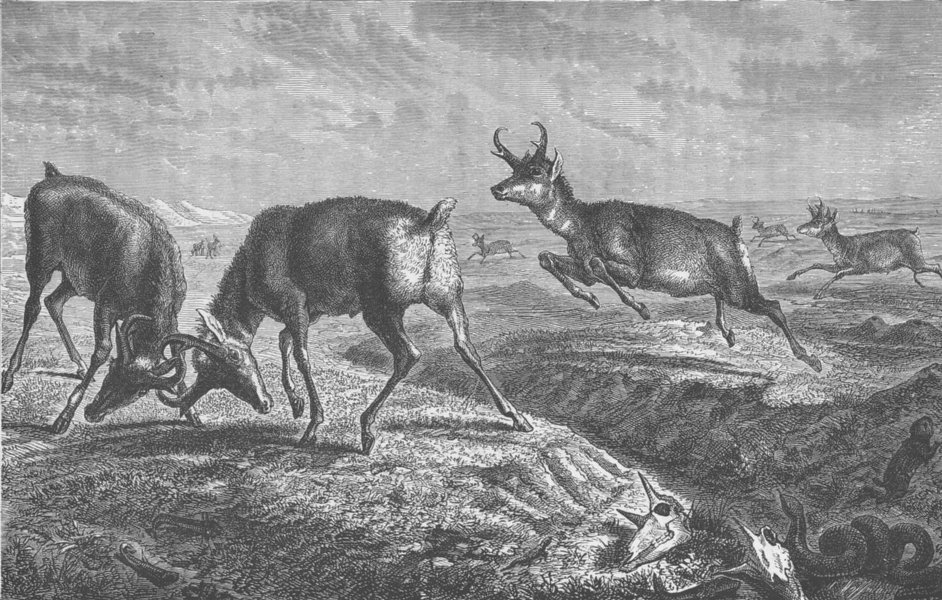Associate Product USA.Prong-horn Antelope,hunted by the Utes,Comanches & plains Indians 1890