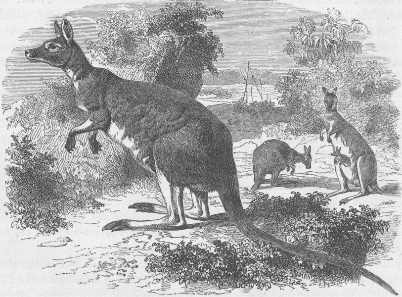 Associate Product AUSTRALIA. Kangaroos at Home. An Australian scene 1890 old antique print