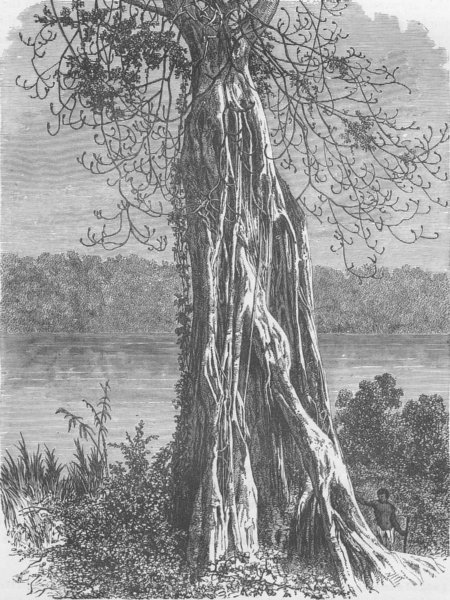 Associate Product GABON. Ovouncha, a species of Fig-tree, from the Gabon 1891 old antique print