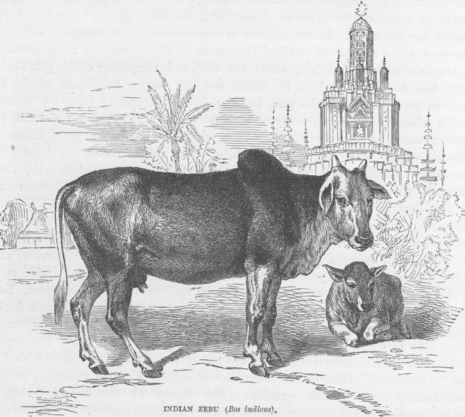 INDIA. Indian Zebu (Bos indicus)  1892 old antique vintage print picture