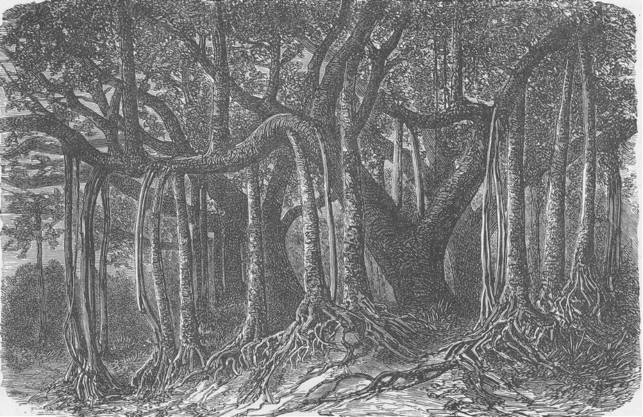 Associate Product INDIA. The Great Banyan, or Sacred Tree, of India (Ficus indica)  1892 print