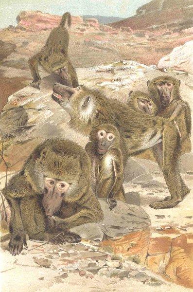 PRIMATES. Baboons 1893 old antique vintage print picture