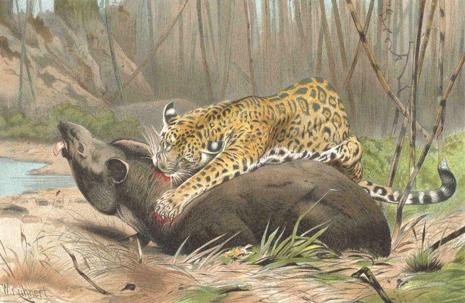Associate Product CATS. Jaguar killing tapir 1893 old antique vintage print picture