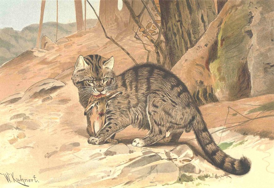 Associate Product CATS. Wild cat 1893 old antique vintage print picture
