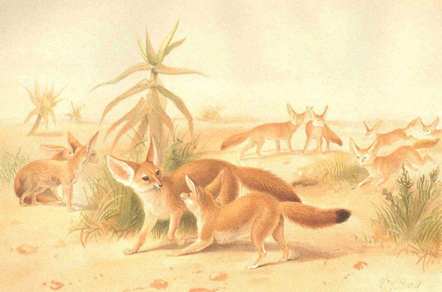 FOXES. African Fennecs 1893 old antique vintage print picture