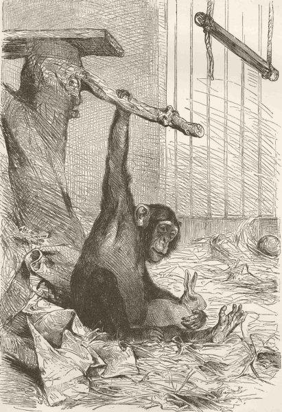 Associate Product PRIMATES. A young chimpanzee 1893 old antique vintage print picture