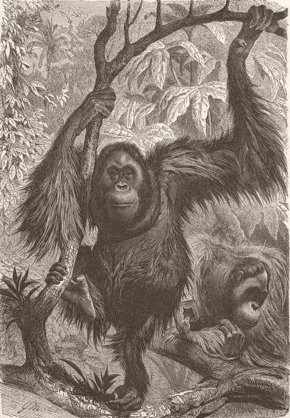 Associate Product PRIMATES. Orangs in native woods 1893 old antique vintage print picture