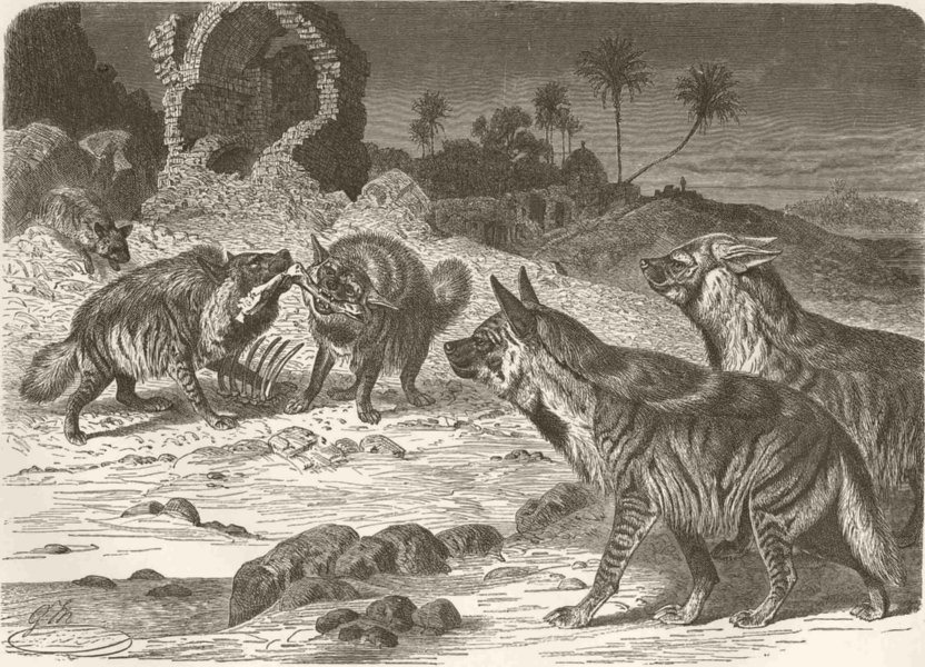 Associate Product CARNIVORES. Gathering of striped hyaenas 1893 old antique print picture