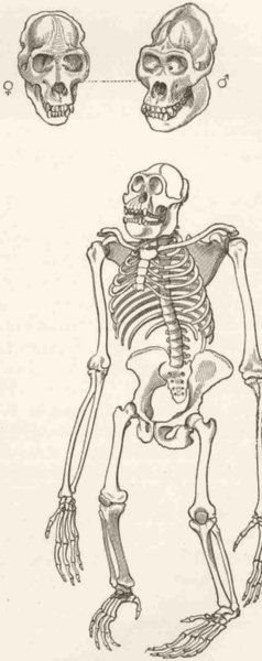 Associate Product PRIMATES. Skeleton of gorilla 1893 old antique vintage print picture