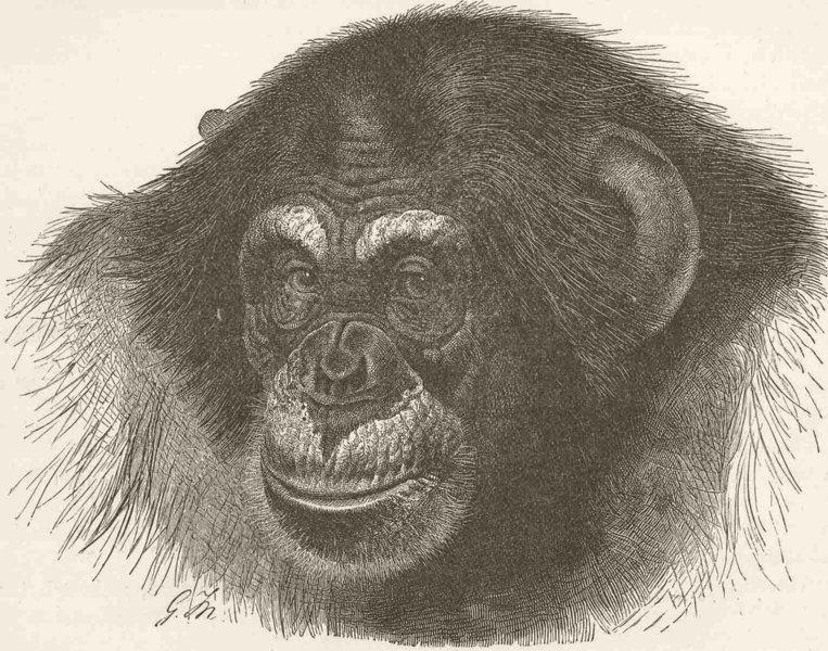 Associate Product PRIMATES. Head of chimpanzee 1893 old antique vintage print picture