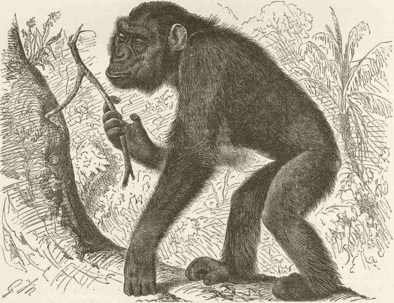 Associate Product PRIMATES. The chimpanzee Mafuka 1893 old antique vintage print picture