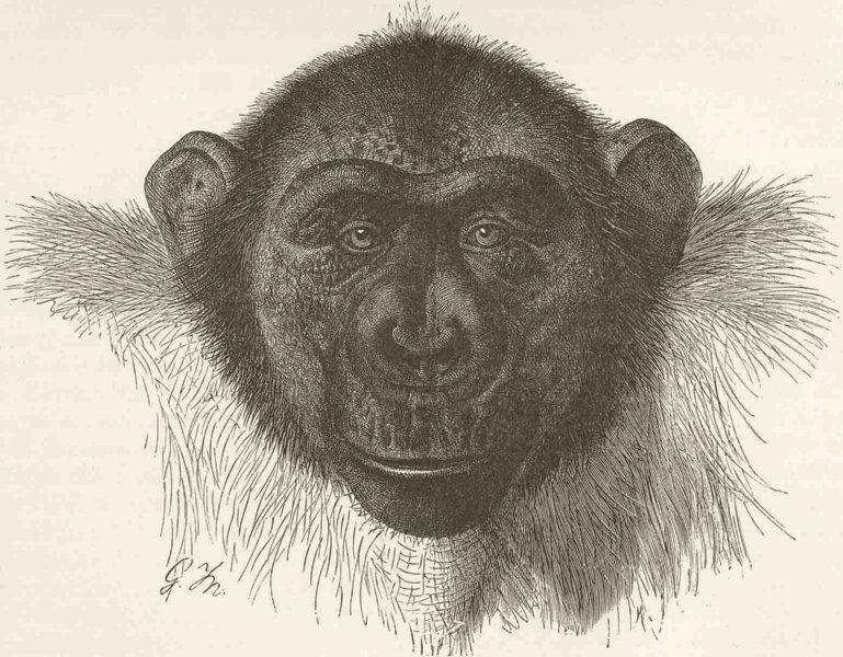 Associate Product PRIMATES. Head of chimpanzee Mafuka 1893 old antique vintage print picture