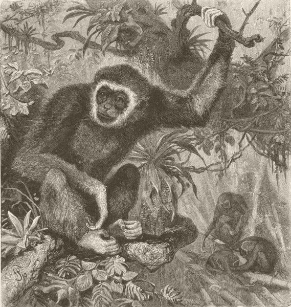 Associate Product PRIMATES. The white-handed gibbon 1893 old antique vintage print picture