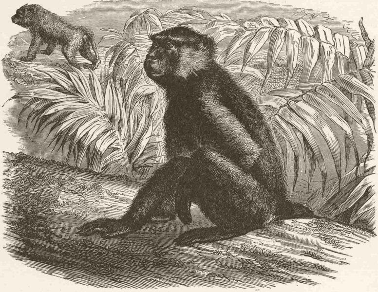 PRIMATES. The yellow baboon 1893 old antique vintage print picture